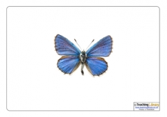 Adonis Blue Butterfly Picture