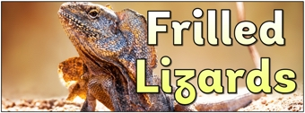 Frilled Lizards Banner