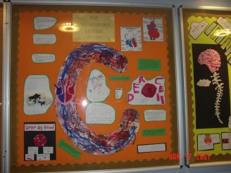The Circulatory System Display