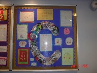 The Male Reproductive System Display