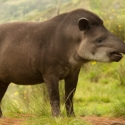World Tapir Day