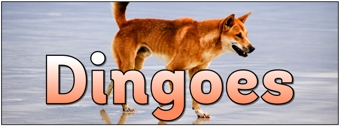 Dingoes Banner