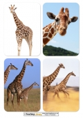 Giraffe Photos