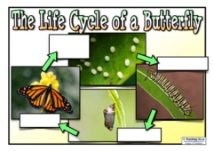 Life Cycle of a Butterfly Poster - Blank