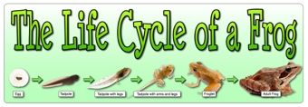 The Life Cycle of a Frog - Banner