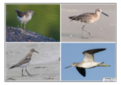 Sandpiper Photos