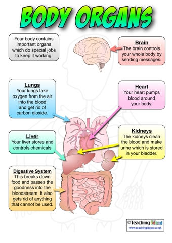 Body Organs Poster | Teaching Ideas
