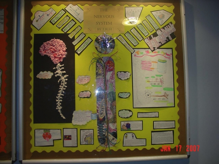 The Nervous System Display Teaching Ideas
